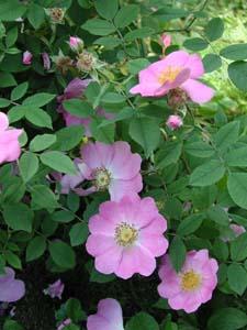 rosa andersoni